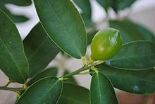 lime-essential-oil.jpg